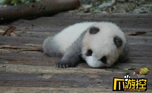 游客用食物砸醒熊猫 呼吁文明游园保护动物的理念