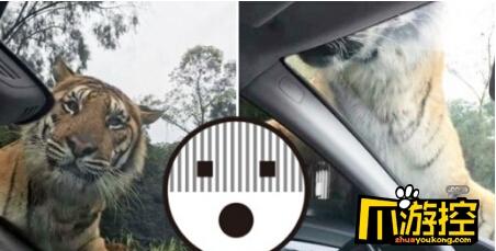 老虎拦下游客车辆  与车内游客四目交投