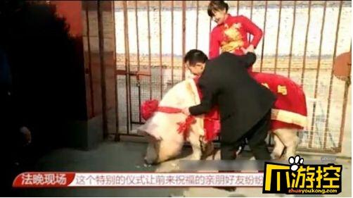 1260斤猪接新娘  系张家口地区有史以来个头最大的猪
