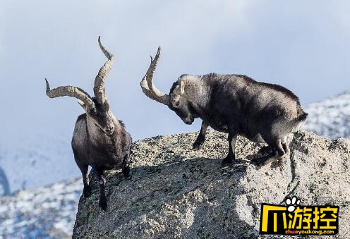 残酷!两山羊悬崖边搏斗 失败者将跌入万丈深渊