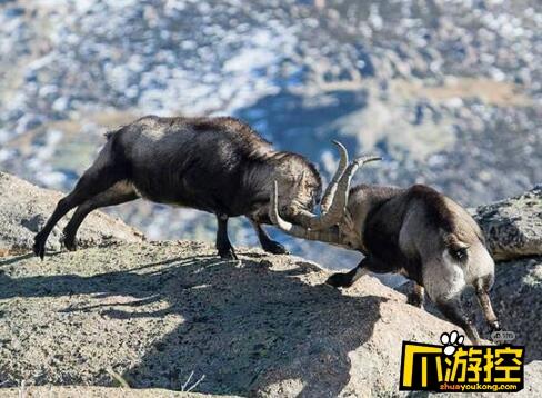 残酷!两山羊悬崖边搏斗 失败者将跌入万丈深渊2
