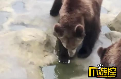 游客误将苹果手机当苹果投喂棕熊 园方回应还好熊没吃