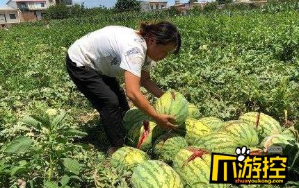 陕西一农妇2000个西瓜被砍烂 孩子学费没了全靠卖瓜交钱