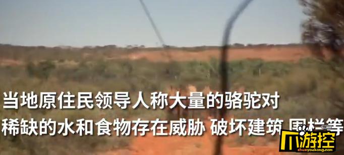 澳大利亚已射杀5000头骆驼,被当地人视为污染水源的罪魁祸首