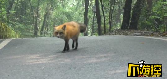 武大网红狐狸下山觅食 网友调侃没戴口罩就敢下山聚餐,可以说很严格了