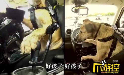 小狗8个星期学会开车