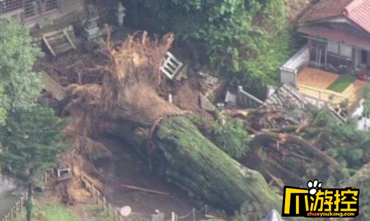 日本千年神树因大雨连根倒地