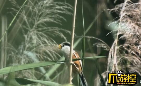 """河北武强发现震旦鸦雀 有着""""鸟中大熊猫""""之称"""